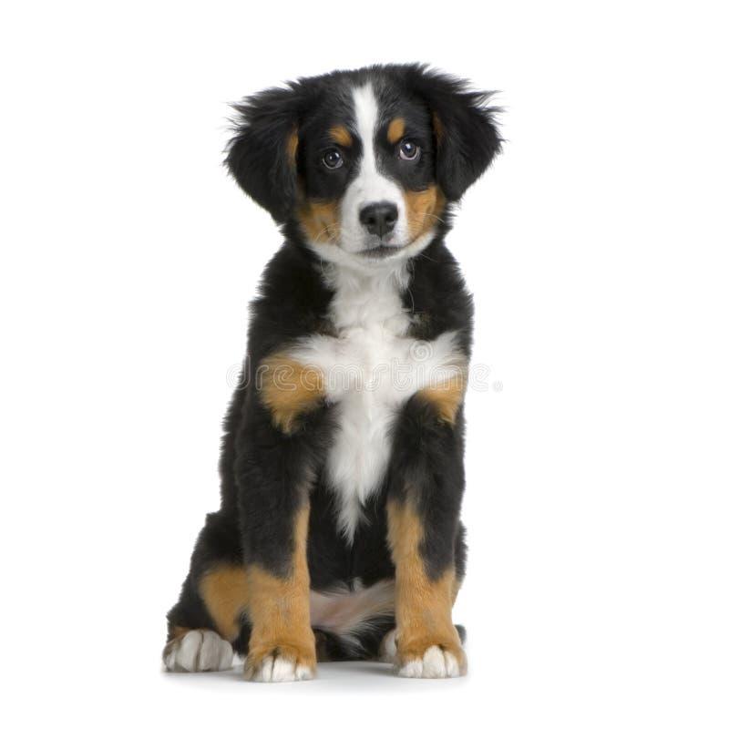 De berghond van Bernese van het puppy royalty-vrije stock afbeelding