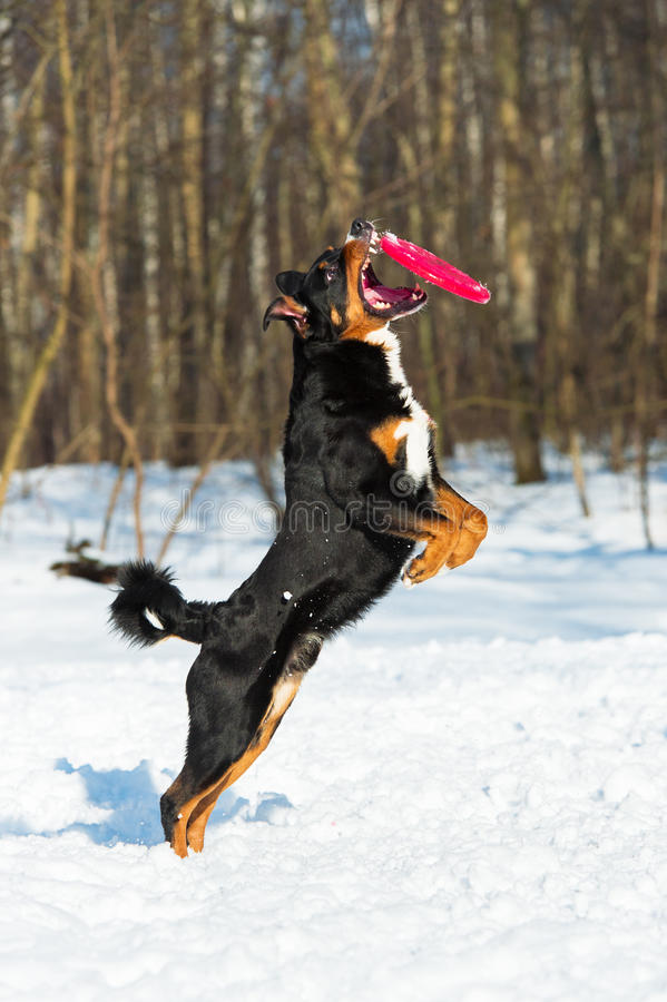 De Berghond van Frisbeeappenzeller met rode vliegende schijf stock afbeelding