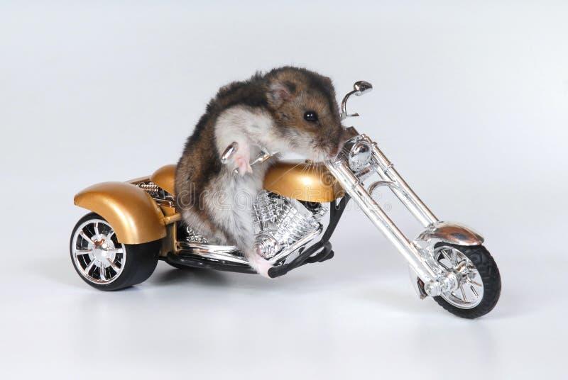 De berijdende fiets van de hamster royalty-vrije stock afbeelding