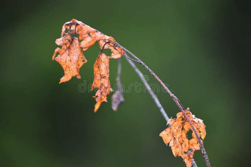 De berk doorbladert in de herfstbos stock afbeelding