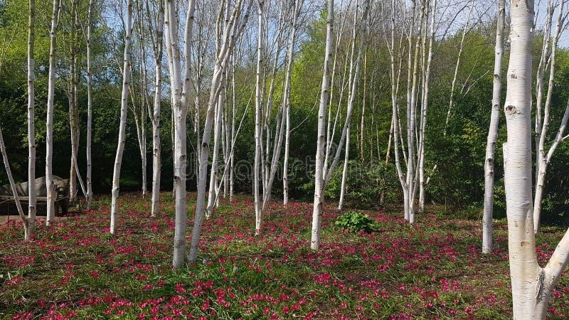 De berk is een dun-leaved vergankelijke hardhoutboom van de soort Witte berk/ˈbɛ tjʊlə/ royalty-vrije stock fotografie