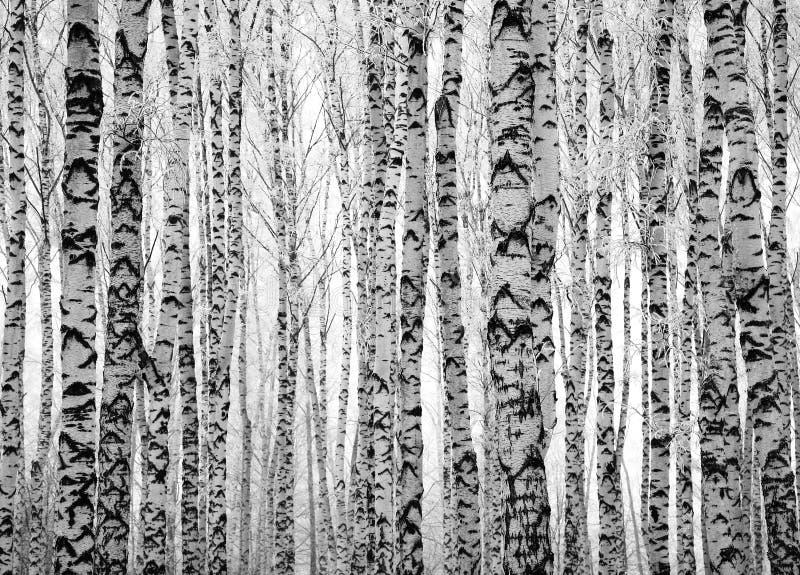 De berkbomen van de winterboomstammen stock afbeelding