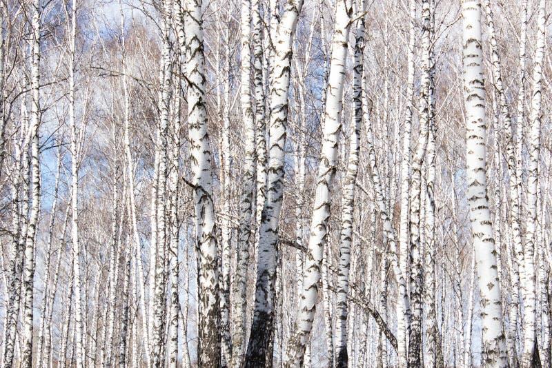 De berkboom royalty-vrije stock foto