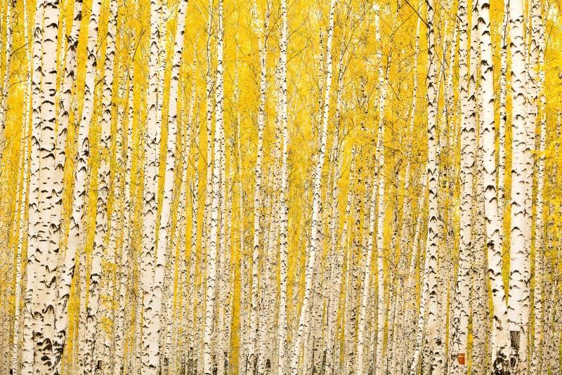 De berkbos van de herfst stock foto