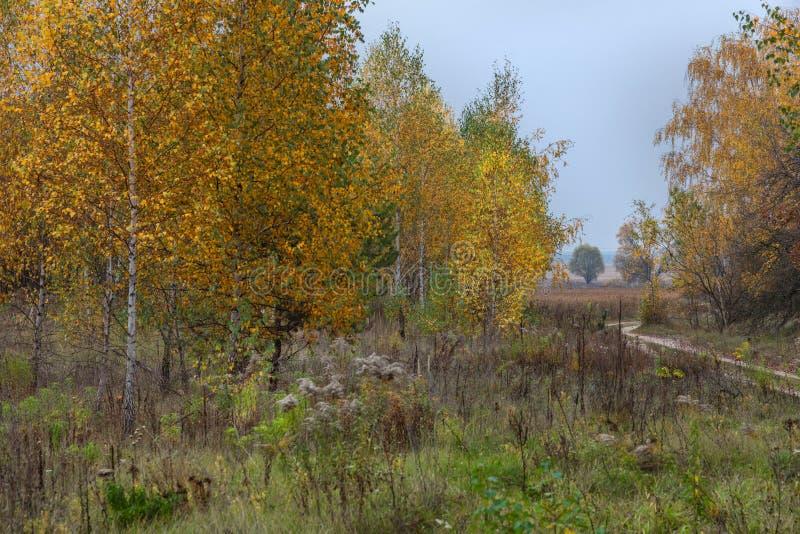 De berken in de herfst met gele bladeren groeien in dicht gras stock afbeeldingen