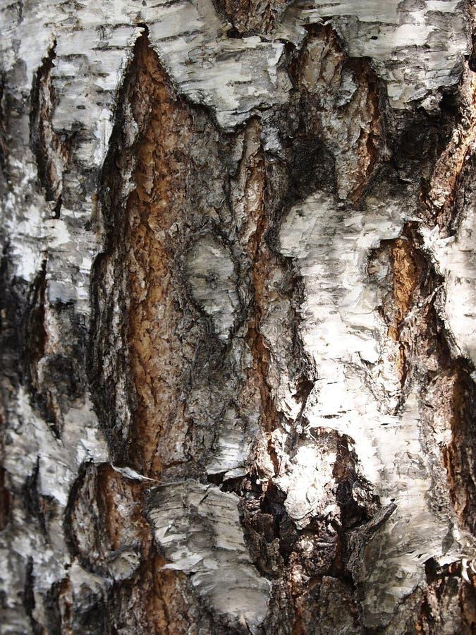 De berkeschors van leeftijdsbarsten, het oppervlakteclose-up Zwart-witte schaduwen van de textuur van een boomboomstam met een gr royalty-vrije stock afbeeldingen