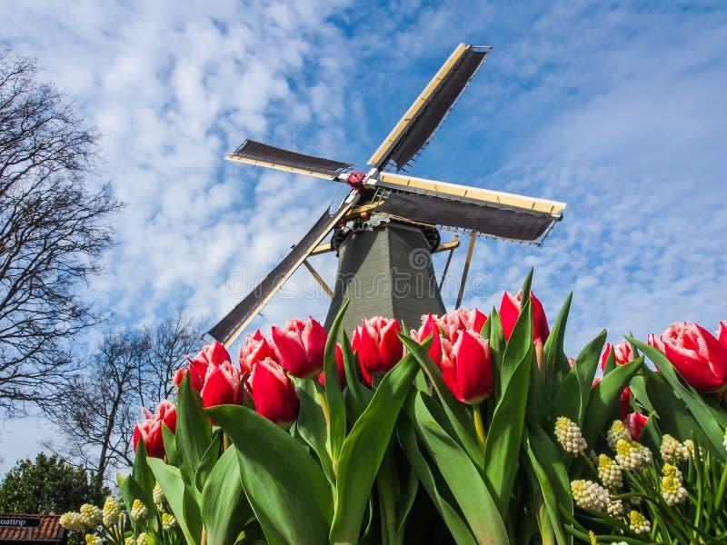 De beroemde Nederlandse windmolens Mening door rode tulpen stock foto