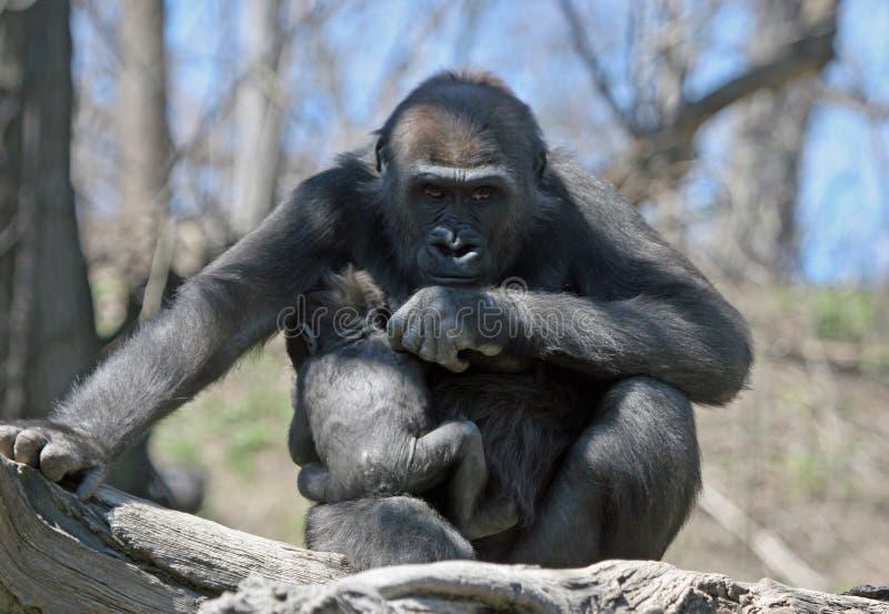 De beschermende Gorilla van de Moeder stock foto