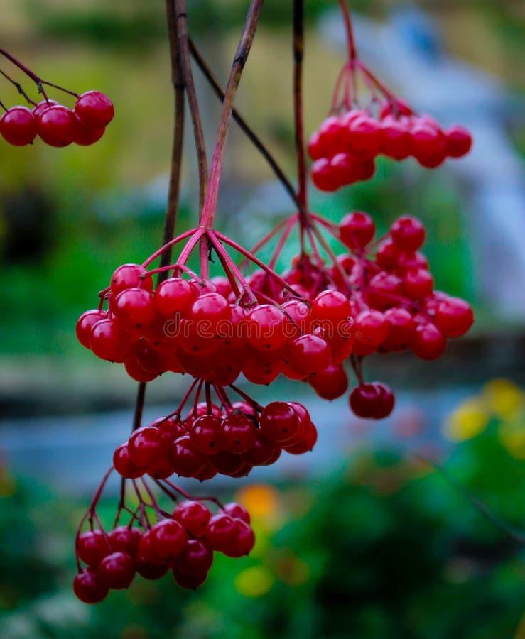 De bessen van rode viburnum in de herfst op de takken zonder bladeren stock afbeeldingen