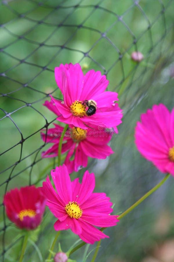 De bestuivers van het de bloeivoer van de Rubinekosmos stock foto