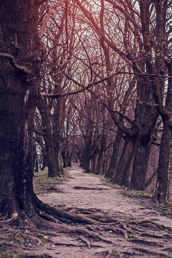 De betreden weg in een geheimzinnige mystieke plaats en de lange oude bomen royalty-vrije stock fotografie