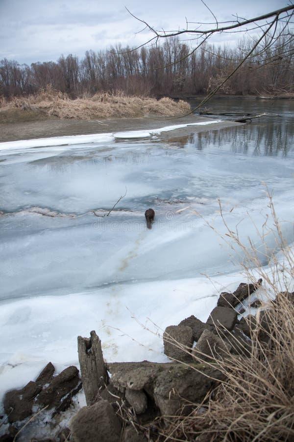 De bever loopt langs de rivierbank in de winter stock afbeelding