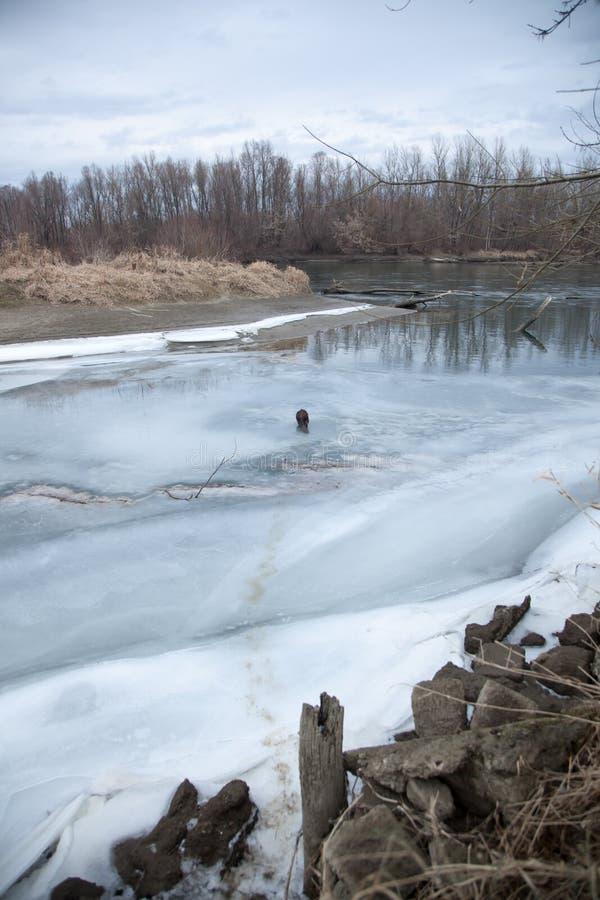 De bever loopt langs de rivierbank in de winter stock fotografie