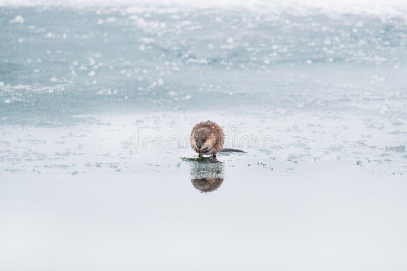 De bever op het bevroren meervoer op algen stock afbeeldingen