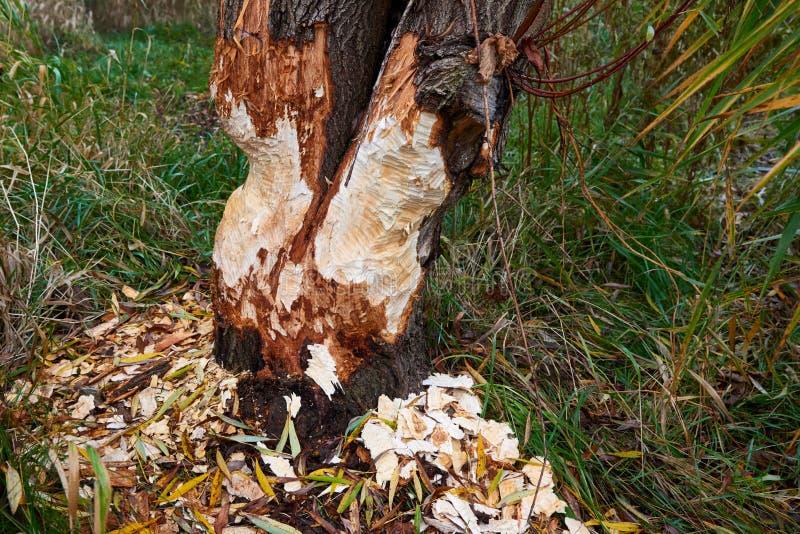 De bever vernietigt bomen stock fotografie