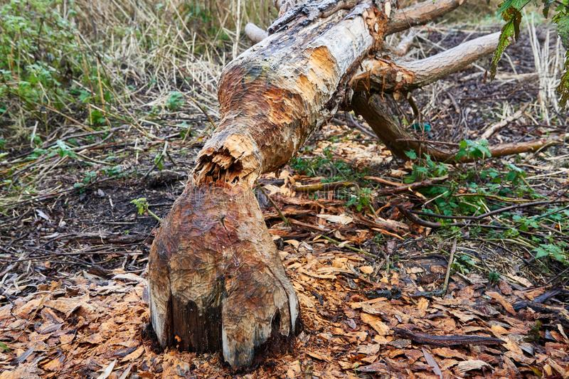 De bever vernietigt bomen stock foto