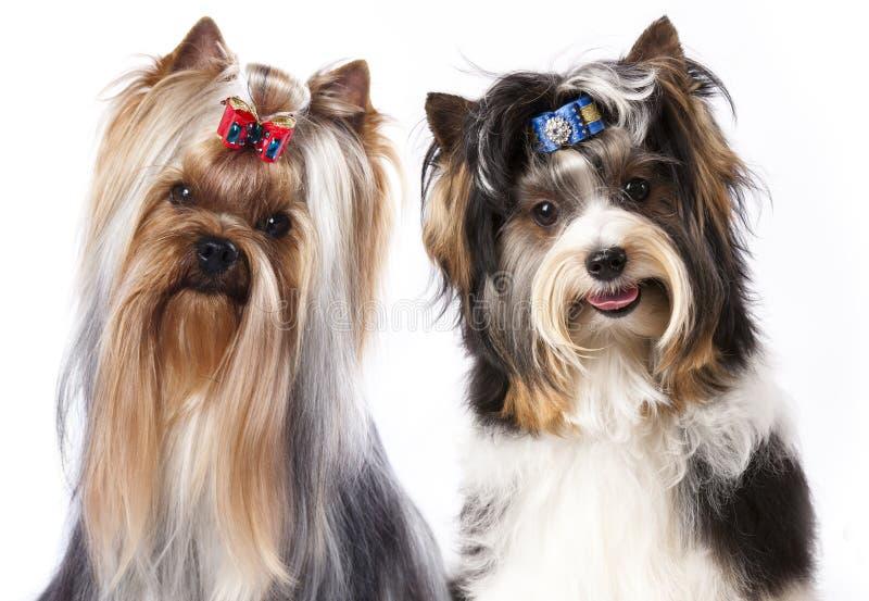 De Bever Yorkshire Terrier van de hond royalty-vrije stock fotografie