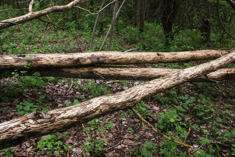 De bevers kauwden de bomen stock foto's