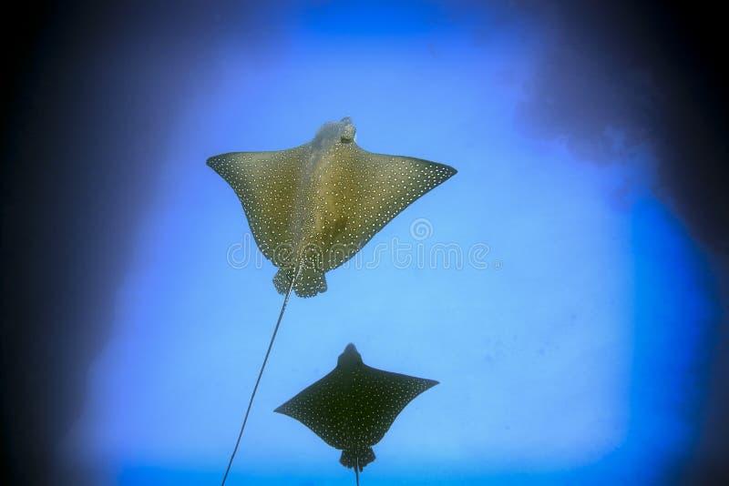 De bevlekte Eilanden van de Galapagos van adelaarsstralen onderwater royalty-vrije stock foto