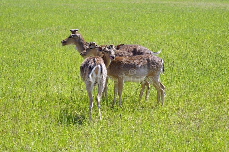 De bevlekte herten weiden op het gebied De lente kan Zonnige dag Wilde dieren Hoofed en gehoornd stock foto