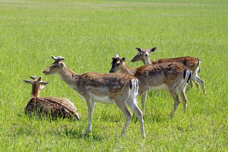 De bevlekte herten weiden op het gebied De lente kan Zonnige dag Wilde dieren Hoofed en gehoornd stock afbeeldingen