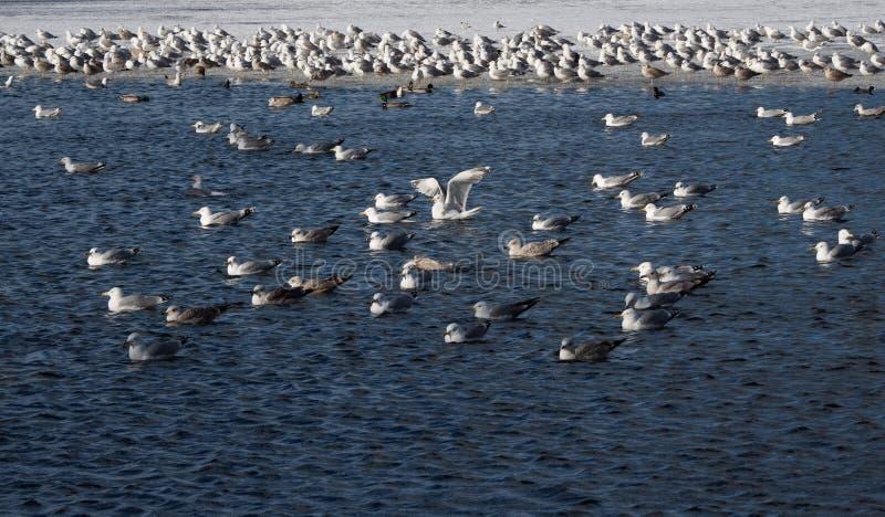 De bevolking van aalscholvers in het blauwe water stock foto