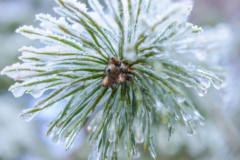 De bevroren druppeltjes van ijs op pijnboomnaalden royalty-vrije stock afbeeldingen