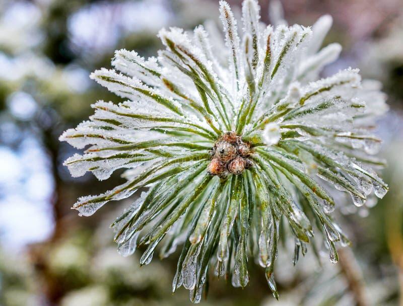De bevroren druppeltjes van ijs op pijnboomnaalden royalty-vrije stock fotografie