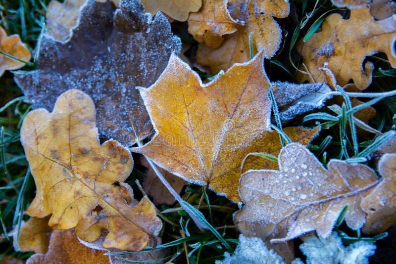 De bevroren esdoorn doorbladert Rijp op vernietigde bladeren royalty-vrije stock foto