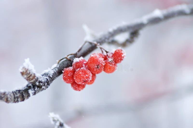 De bevroren lijsterbes op een tak stock fotografie