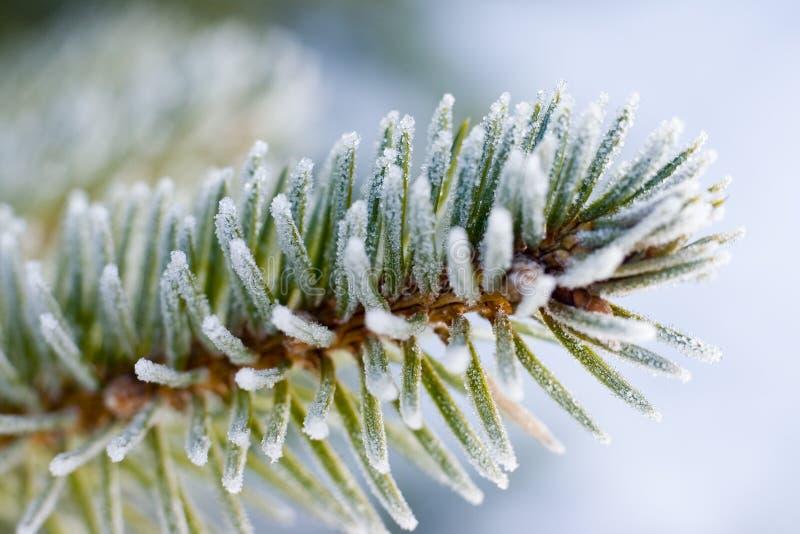 De bevroren tak van de pijnboomboom stock afbeeldingen