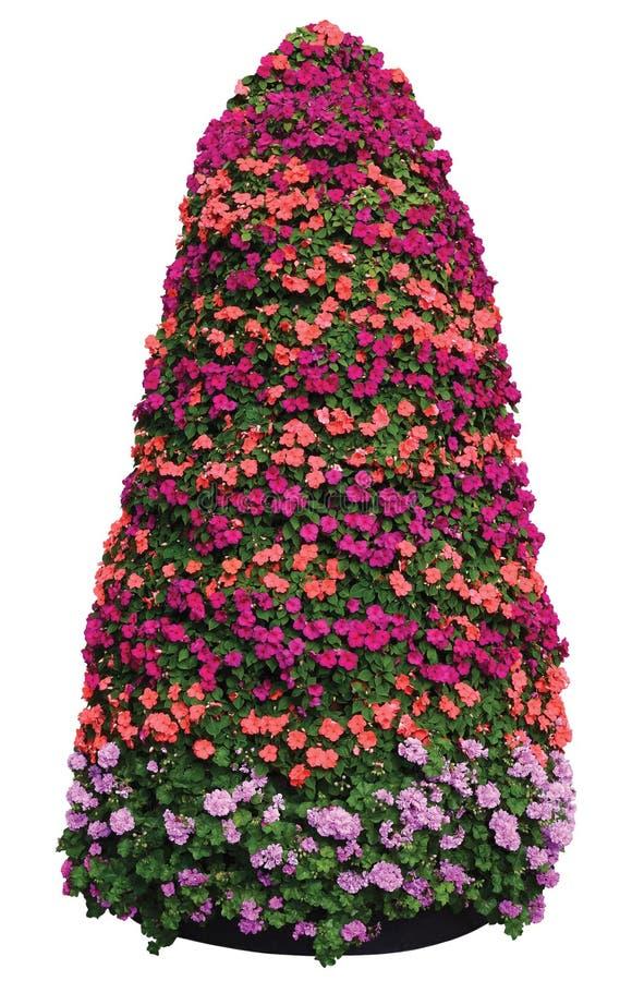De Bezige Lizzie Flowers Plant Pyramid Isolated Grote Gedetailleerde Kleurrijke Verticale Piramidale Close-up van Impatienswaller royalty-vrije stock afbeelding