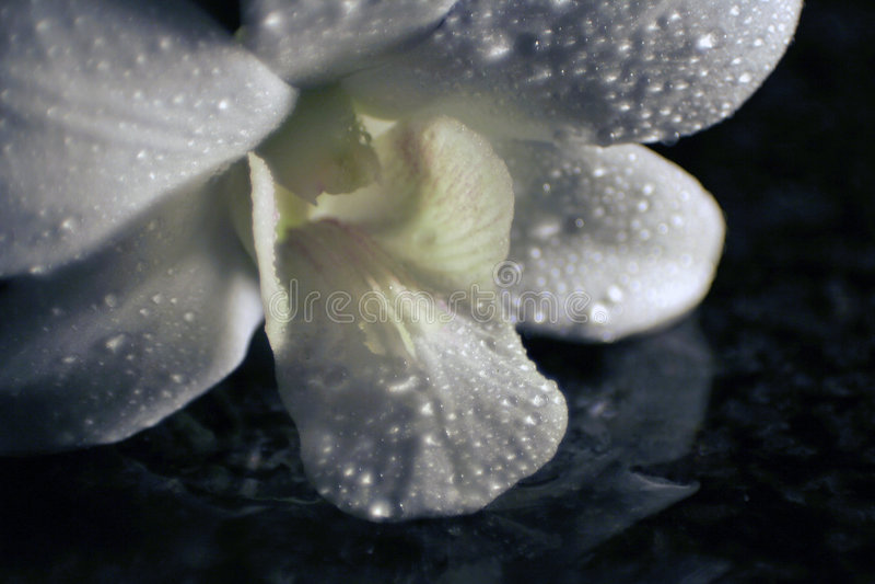 De bezinning van de orchidee stock afbeelding
