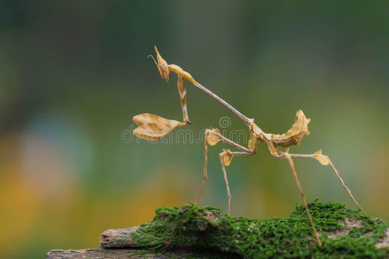 De bidsprinkhanen met mooi boked achtergrond stock fotografie