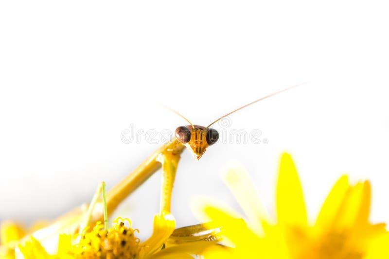 De bidsprinkhanen van het overlappingsstaal op gele bloem stock afbeelding