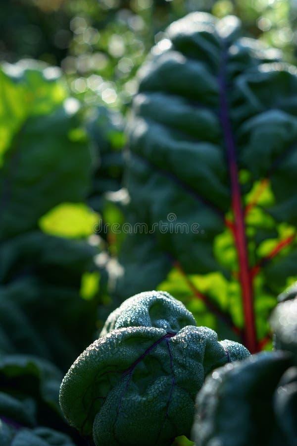 De bietenbladeren van de ochtenddauw behandelde Snijbiet backlit door de zon stock foto's