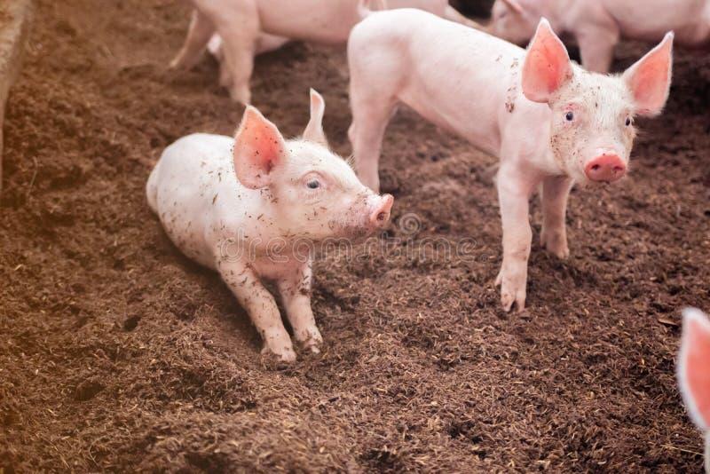 De biggetjes spelen in organische varkensfokkerijen Welke met schil vloerde royalty-vrije stock foto's