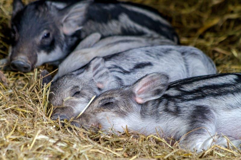 De Biggetjes van babymangalitsa op Organisch Landbouwbedrijf stock foto's