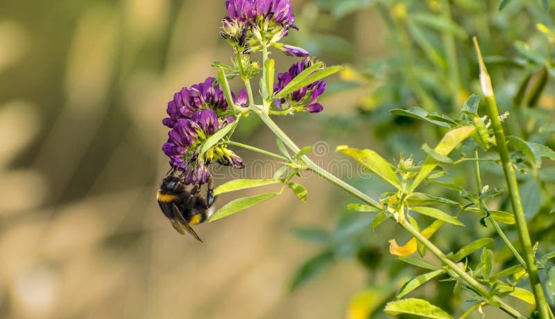 De bij bestuift een bloem, méhecske beporozza een gekregen virà ¡ royalty-vrije stock afbeeldingen