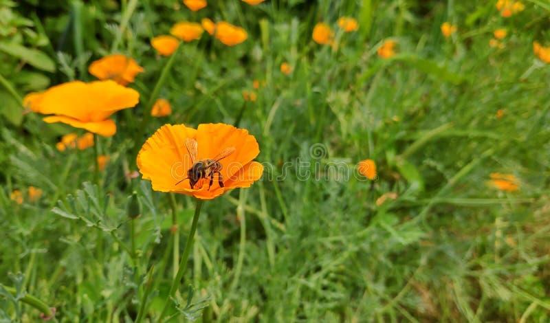 De bij bestuift heldere gele/rode bloemen stock afbeeldingen