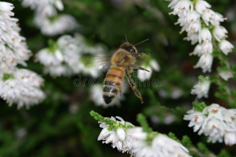 De bij die van de honing binnen voor het landen komt royalty-vrije stock foto's