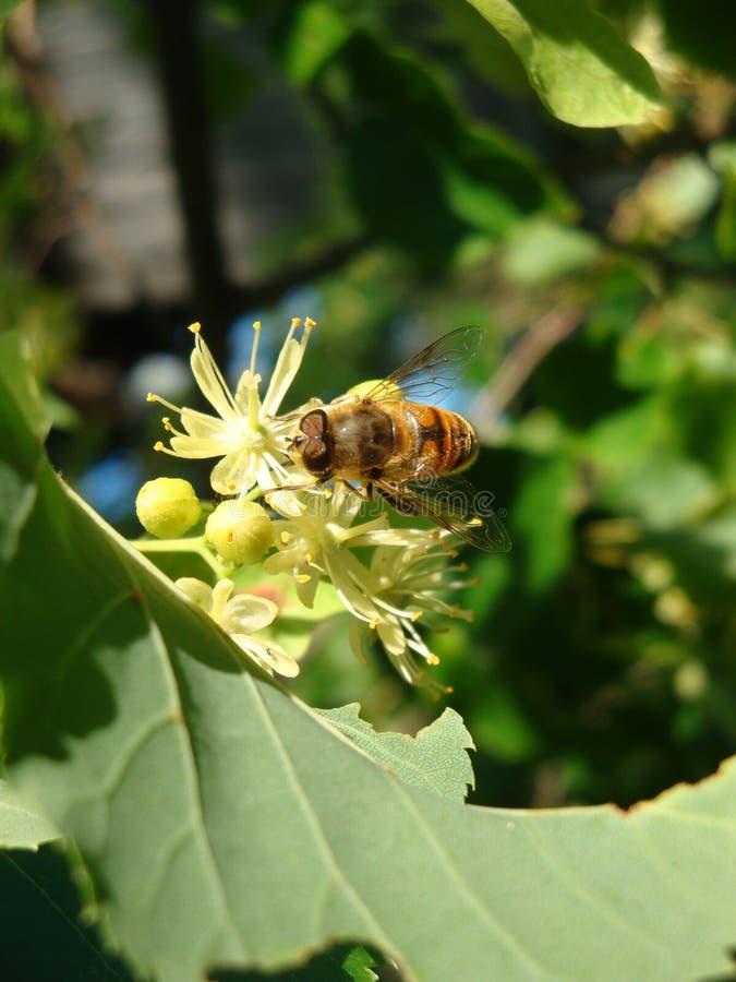 De bij die van de honing stuifmeel verzamelt stock fotografie