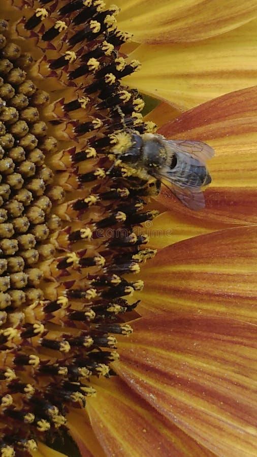 De bij laiden met pollon stock foto's