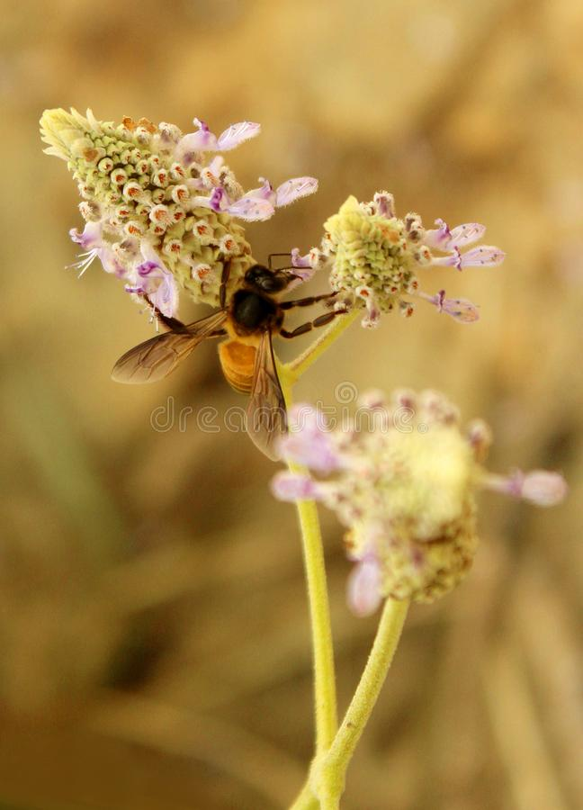 De bij neemt de honing op de wilde bloem stock foto's