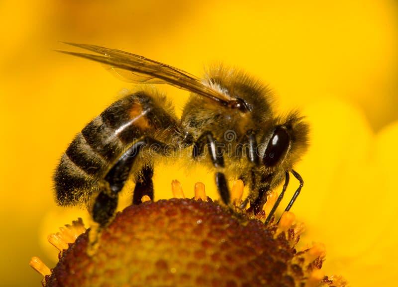 De bij van de close-up op bloem stock afbeeldingen