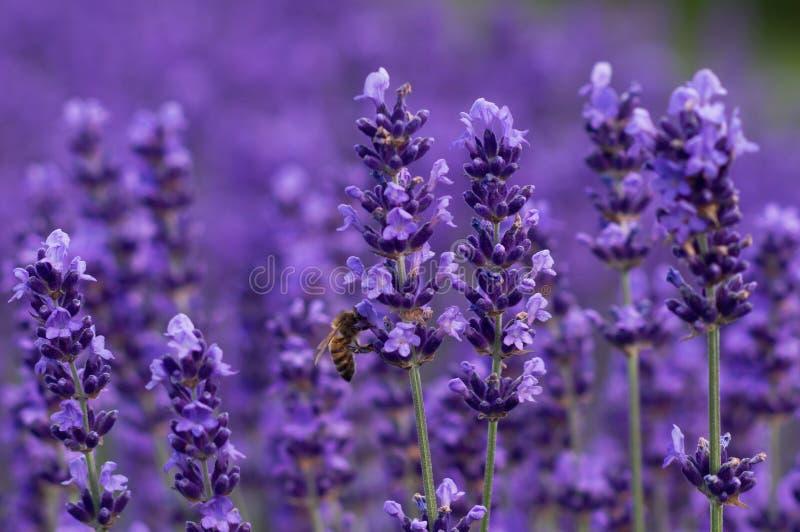 De bij van de honing op lavendel stock foto's