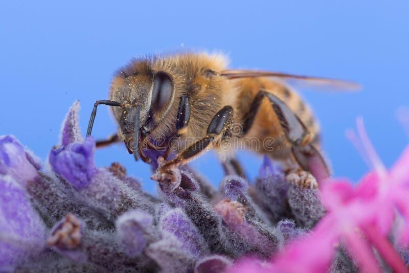 De Bij van de honing op Lavendel royalty-vrije stock afbeelding