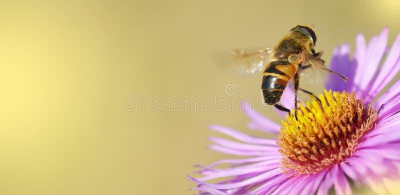 De bij van de honing op een bloem stock afbeeldingen