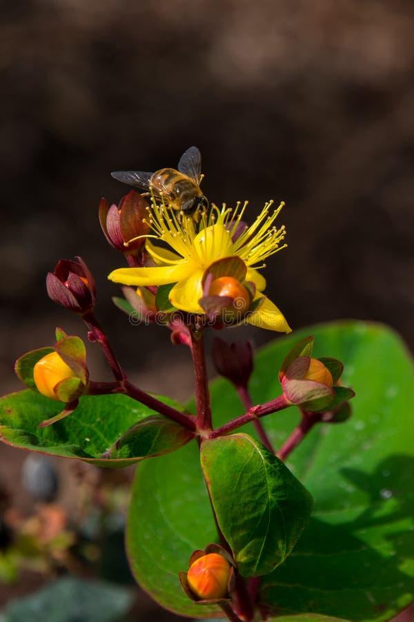 De bij van de honing op een gele bloem stock foto