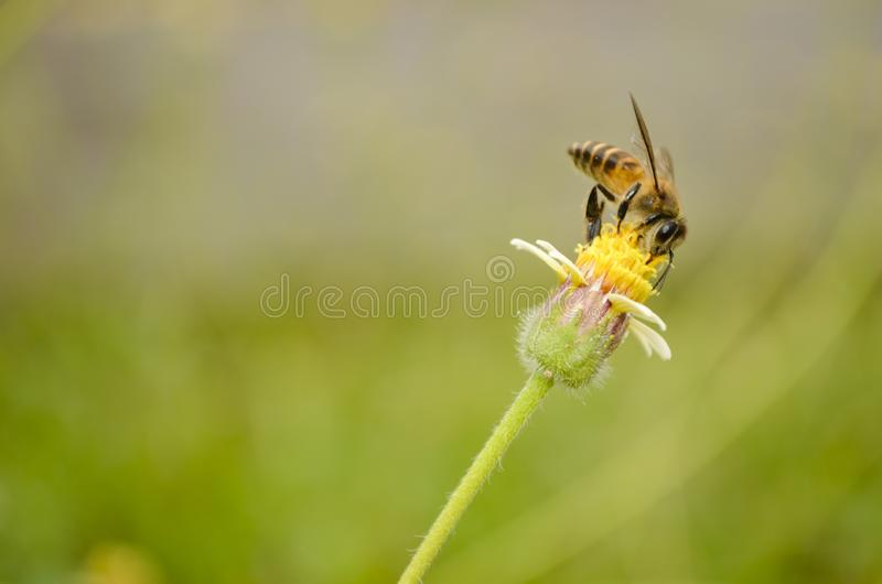De bij verzamelt Honey On The-Bloem royalty-vrije stock foto